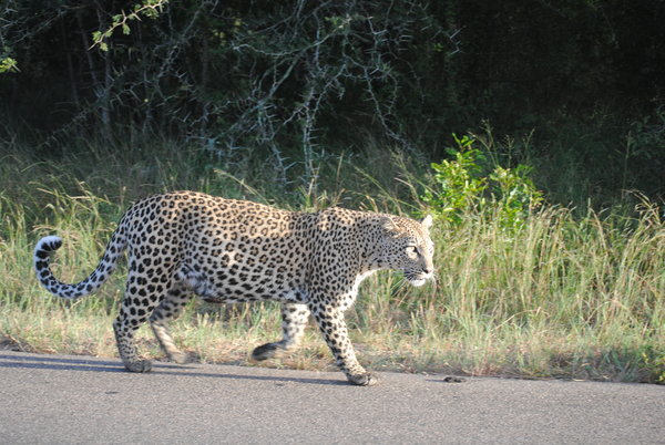 A leopard in the wild at Kruger National Park.